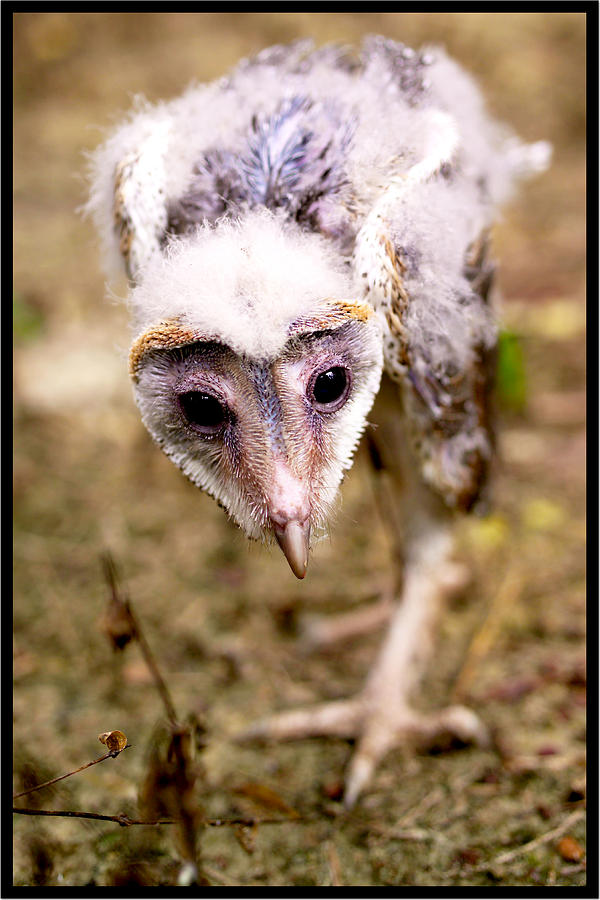 Baby Barn Owl Photograph by Suan Imm Lim