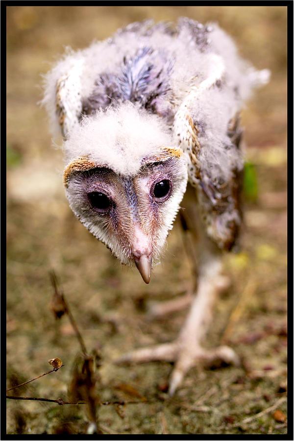 Barn Owl Photograph - Baby Barn Owl by Suan Imm Lim