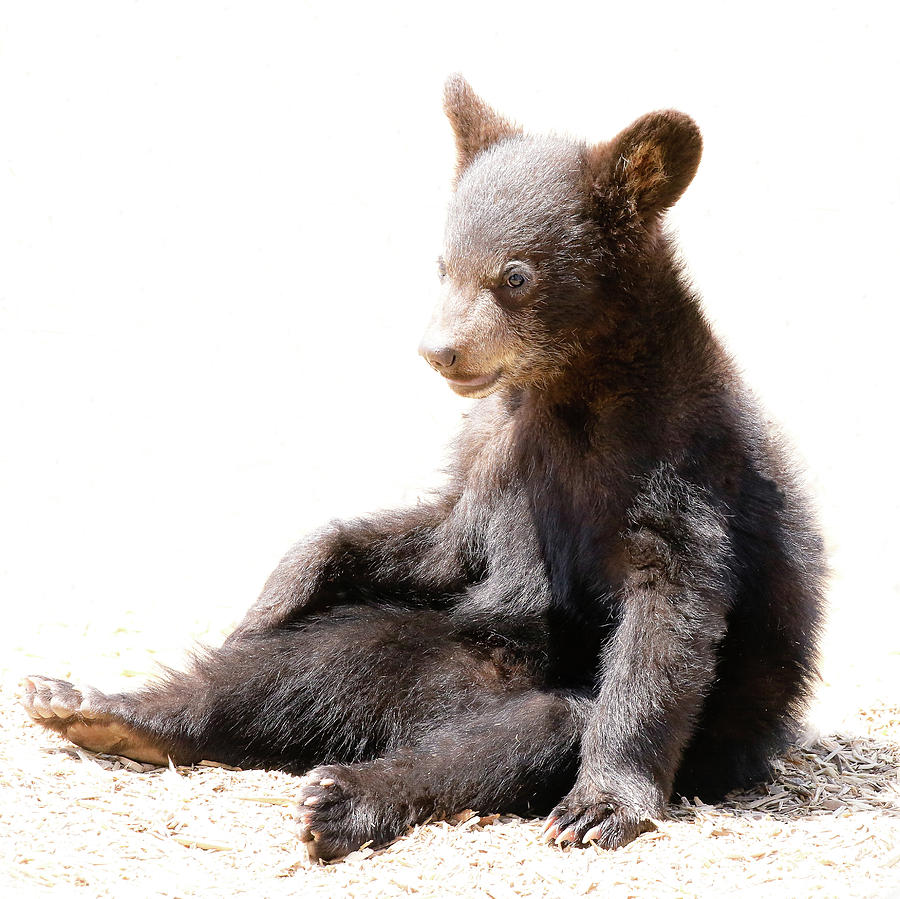 Baby Bear Cub Sitting Photograph By Athena Mckinzie