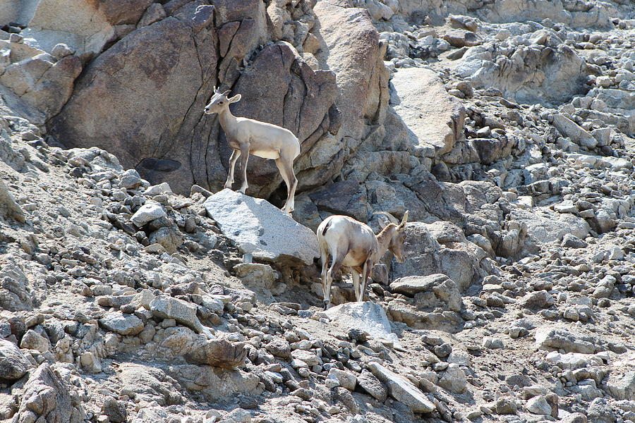 Santa Rosa Photograph - Baby Bighorn and Mom by Colleen Cornelius