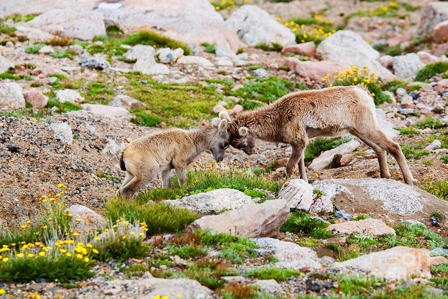 Baby Bighorn Sheep Playing On Mount Evans Photograph