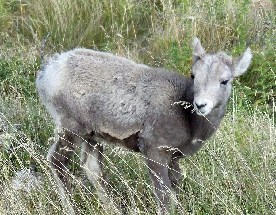 Baby Photograph - Baby Bighorn by Tiffany Vest