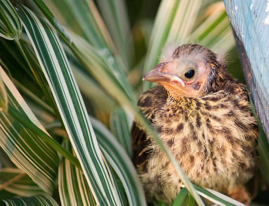 Bird Photograph - Baby Bird Peering Out by Douglas Barnett