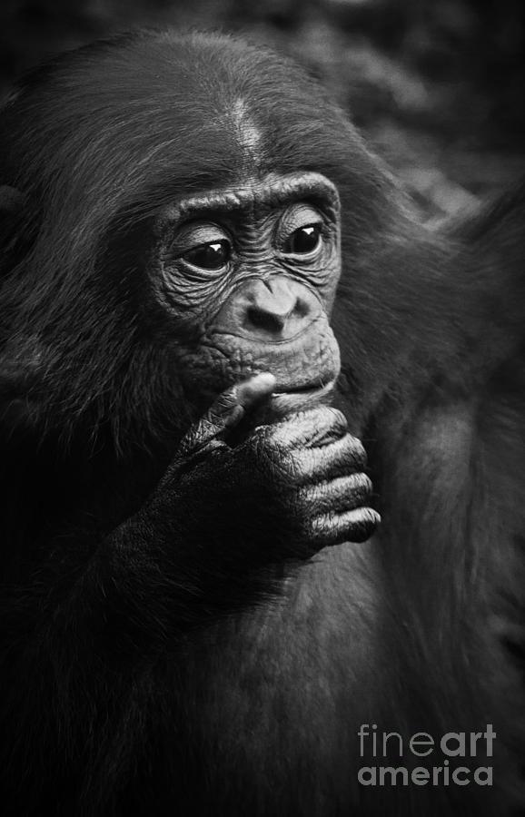 Baby Bonobo Photograph