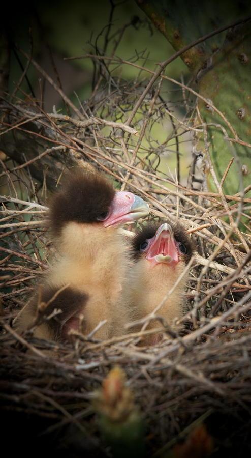 Wildlife Photograph - Baby Caracara Chicks by Butch Ramirez