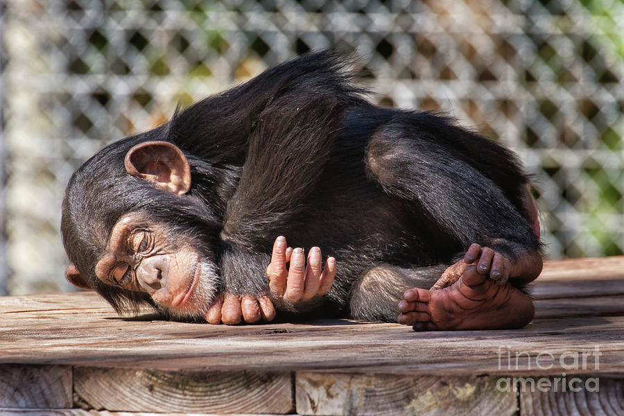 Baby Chimpanzee sleeping by Stephanie Hayes