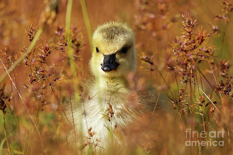 Baby Photograph - Baby Cuteness - Young Canada Goose by Sue Harper