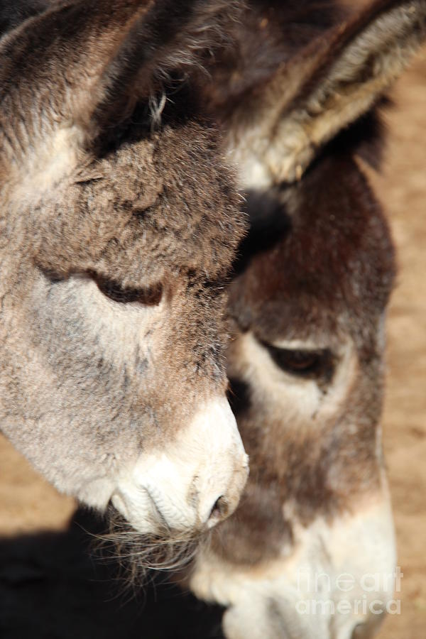 Profile Photograph - Baby Donkey by Pauline Ross