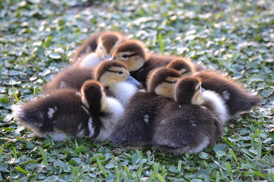 Baby Ducks - Muscovy Duck by rd Erickson