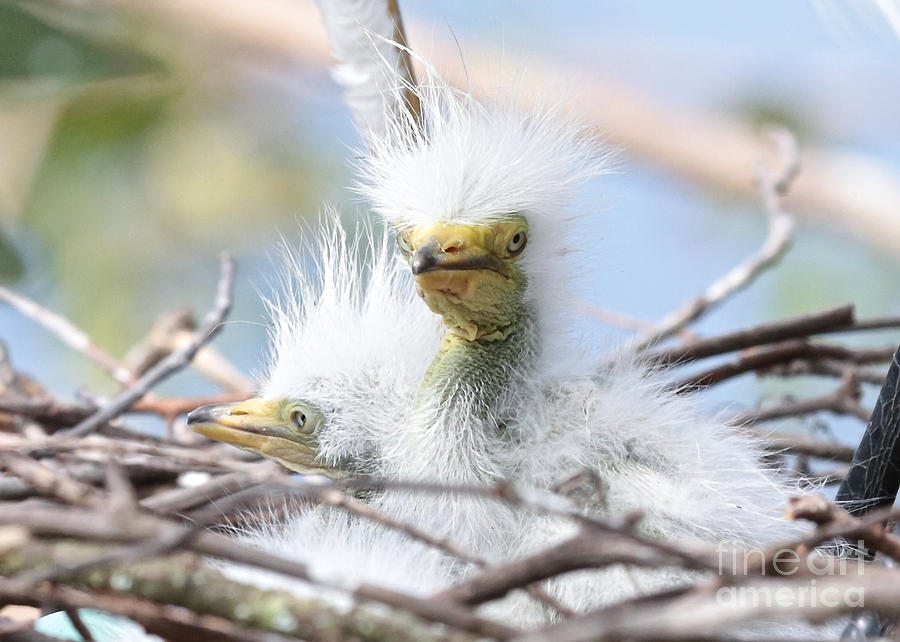 Baby Egrets With Wild Hair Photograph