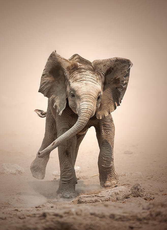 Elephant Photograph - Baby Elephant mock charging by Johan Swanepoel