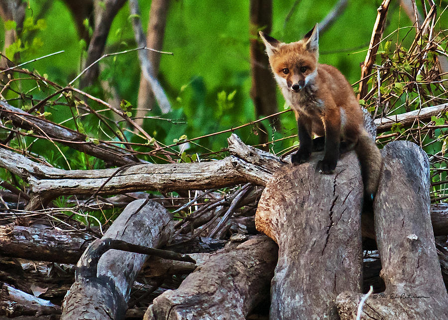Heron Haven Photograph - Baby Fox by Edward Peterson