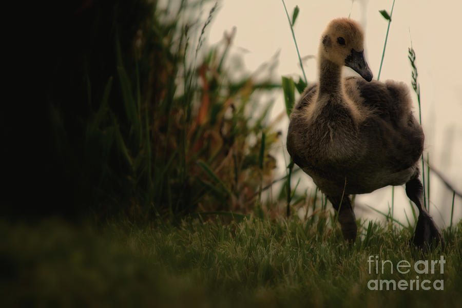 Goose Photograph - Baby Goose by Gaby Swanson