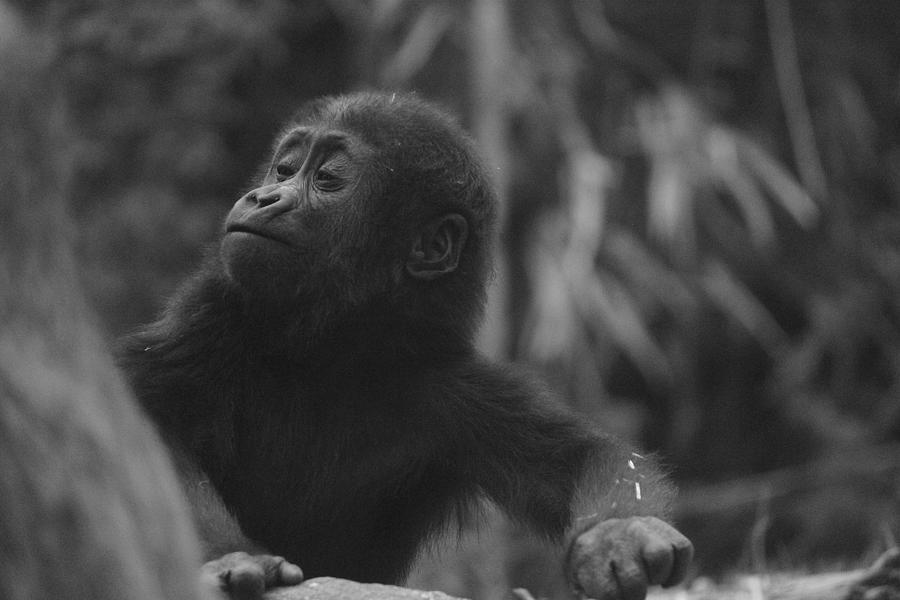 Baby Gorilla by Jake Danishevsky