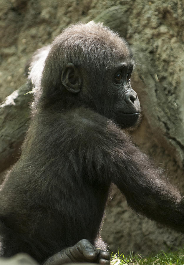 Bronx Zoo Photograph - Baby Gorilla2 by Clifford Pugliese