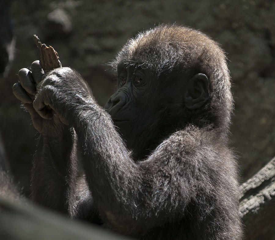 Bronx Zoo Photograph - Baby Gorilla3 by Clifford Pugliese