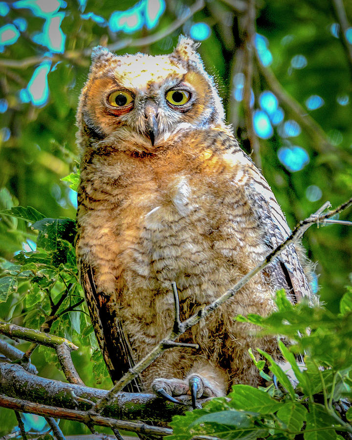 Antelope Island Photograph - Baby Great Horned Owl by Norman Hall