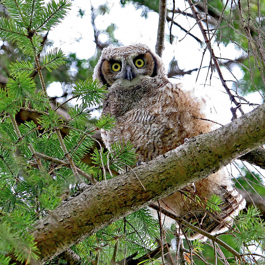 Great Horned Owl Photograph - Baby Great Horned Owl by Peggy Collins