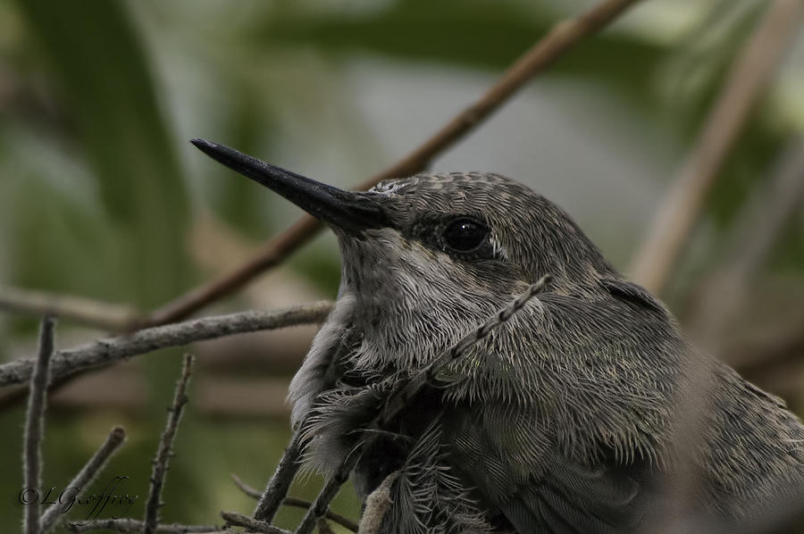 Baby Humming Bird by Lynn Geoffroy