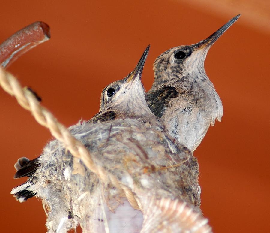 Baby Hummingbirds In Nest Photograph