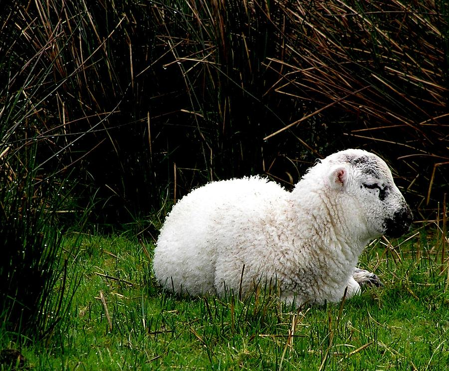 Sheep Photograph - Baby Lamb by Jeanette Oberholtzer