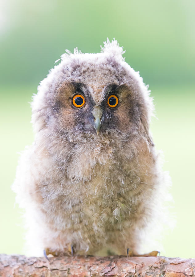 Long-eared Owl Photograph - Baby Long-eared Owl by Janne Mankinen