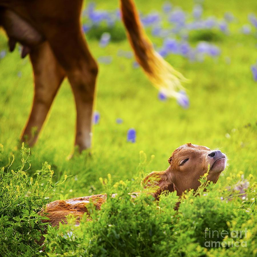 Baby Longhorn In Texas Bluebonnet Field Photograph