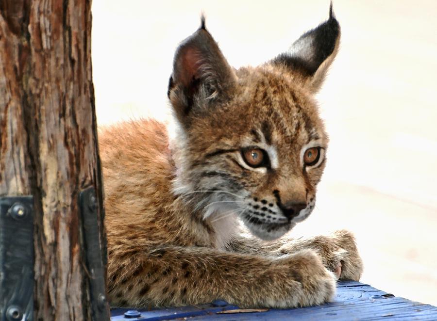 Lynx Photograph - Baby Lynx by Amy McDaniel