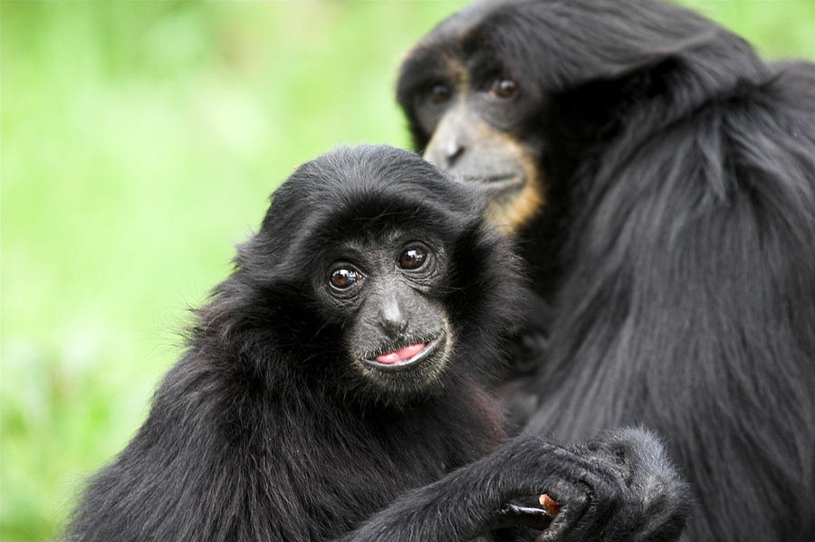 Baby Monkey And Mother Photograph