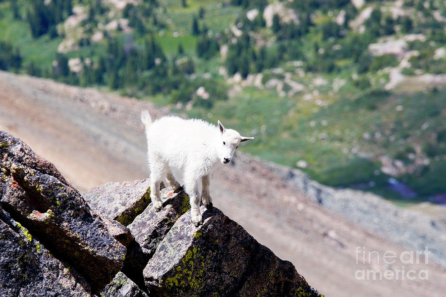 Baby Mountain Goat On Mount Massive Colorado Photograph