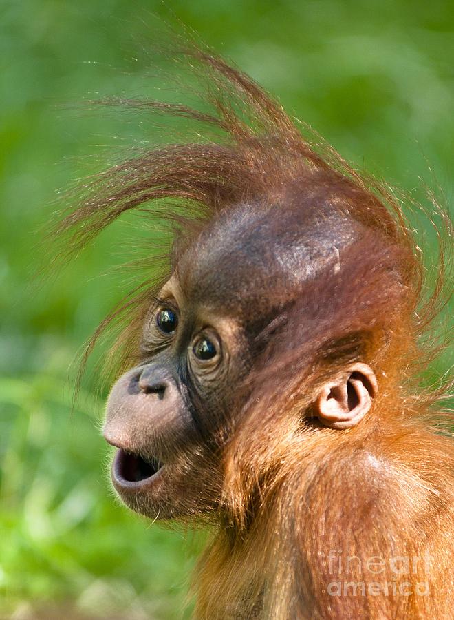 Asia Photograph - Baby Orangutan by Andrew  Michael