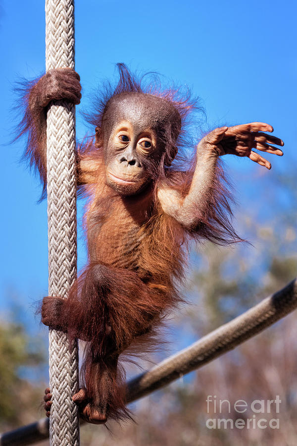 Baby Orangutan Climbing by Stephanie Hayes