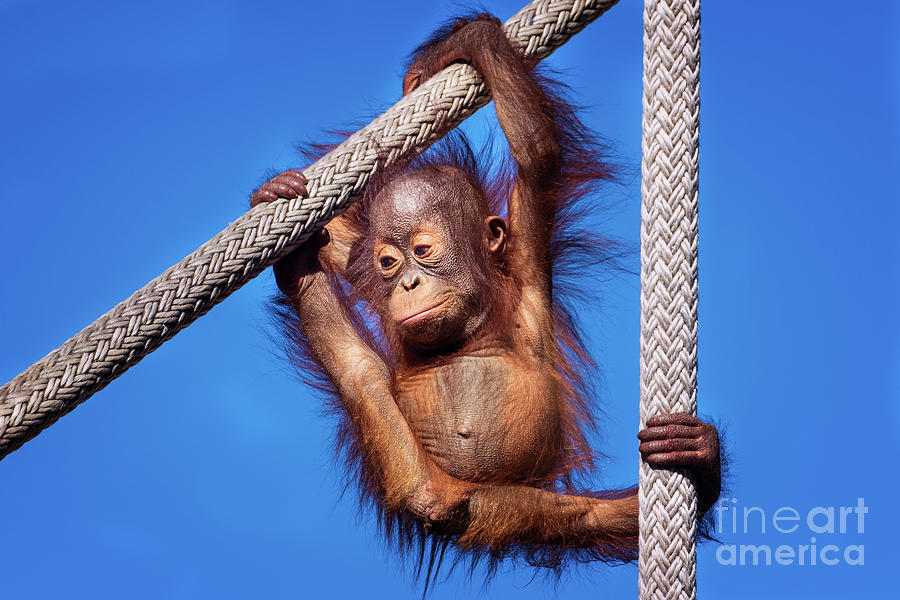 Baby Orangutan Hanging out by Stephanie Hayes