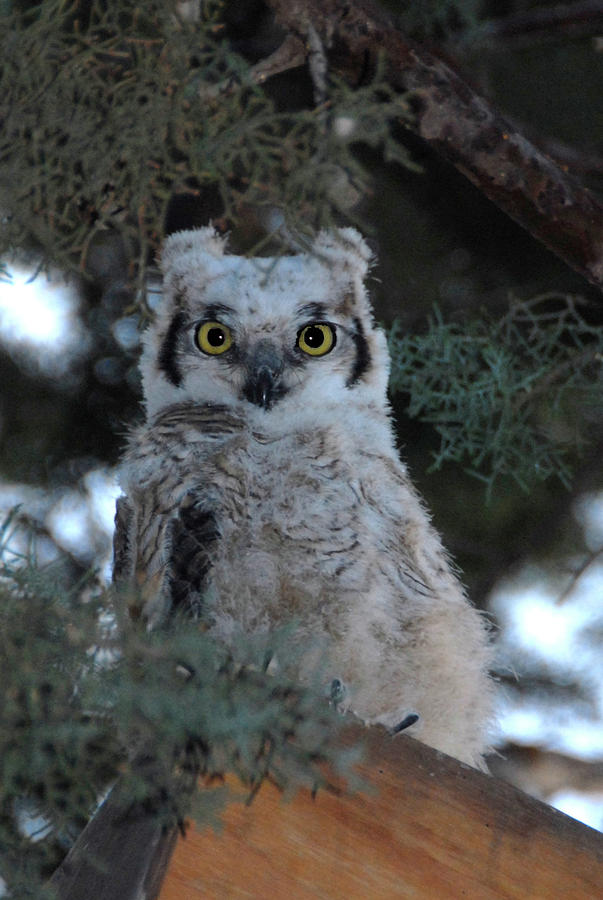 Great Horned Owlet Photograph - Baby Owlet  by Bill Hyde