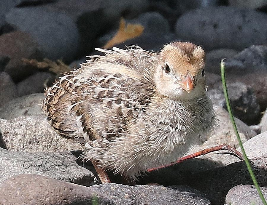 Baby Quail Photograph By Cheryl Broumley