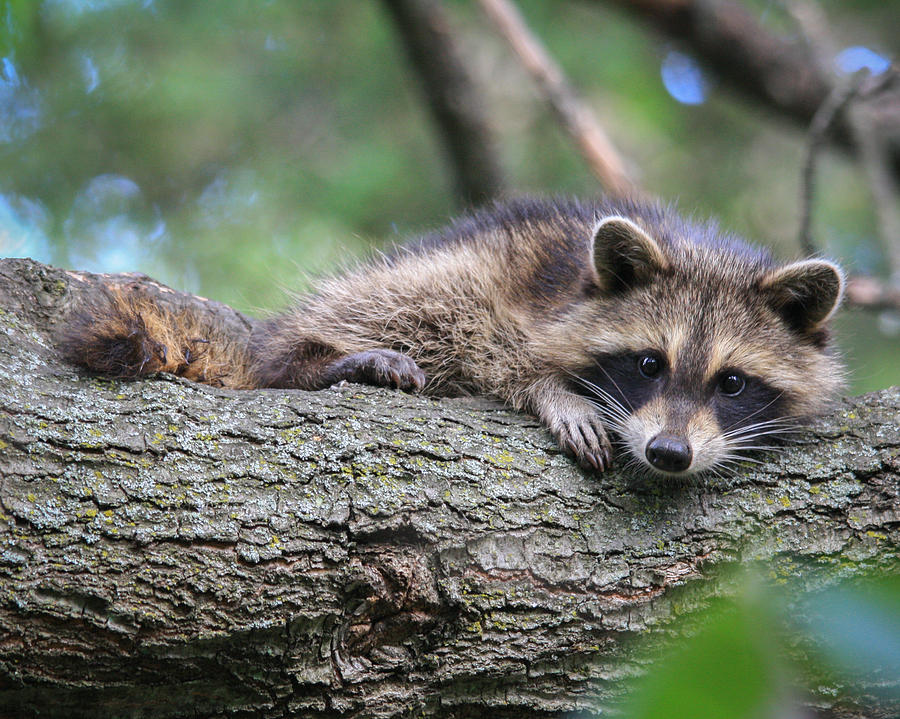 Adorable Photograph - Baby Raccoon by Kimberly Kotzian