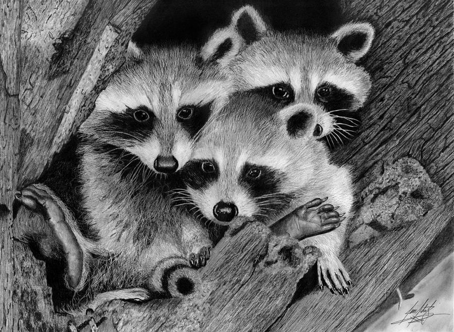 Baby Raccoons Drawing Drawing by James Schultz Raccoon Drawing