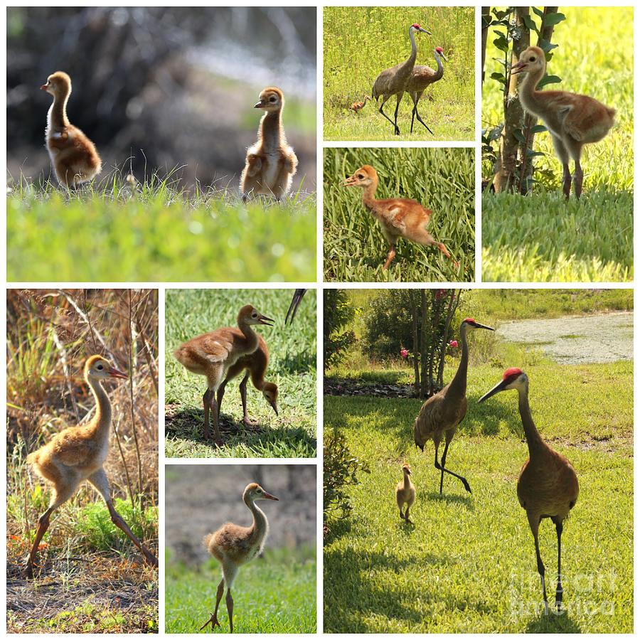 Crane Photograph - Baby Sandhills Collage by Carol Groenen