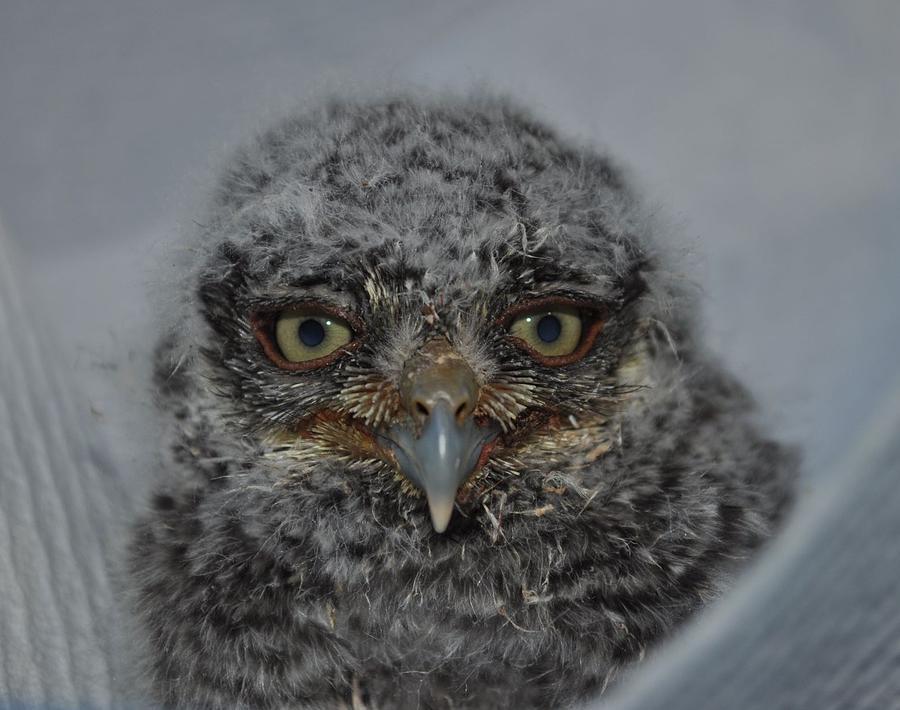 Raptors Photograph - Baby Screech Owl by Monteen  McCord
