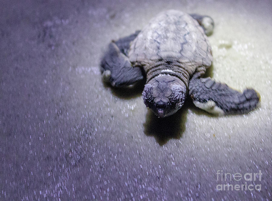 Baby Sea Turtle by Ty Shults