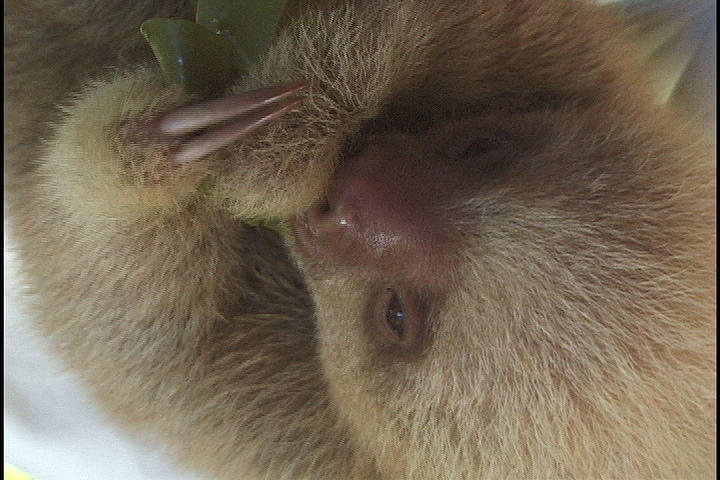 Sloths Photograph - Baby Sloth by Gregory Young