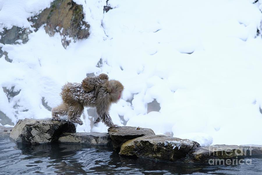 Baby Monkey Photograph - baby Snow Monkeys of Jigokudani  by Carmin Wong