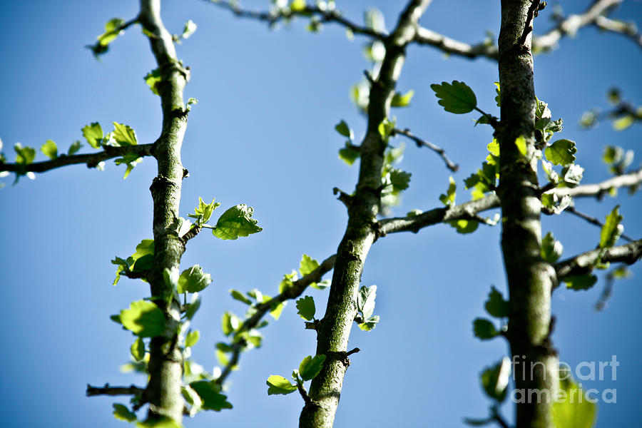 Canon Photograph - Baby Spring Tree Leaves 01 by Ryan Kelly