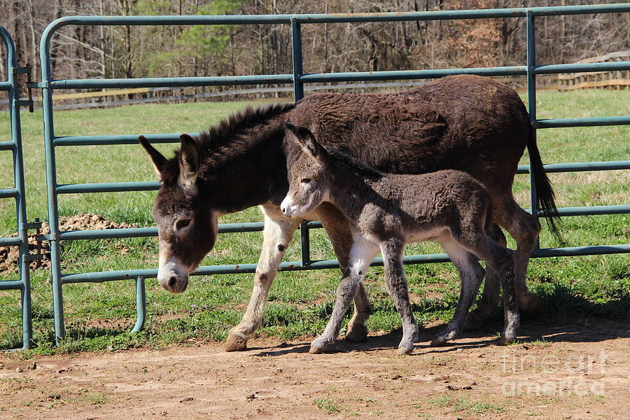 Baby Donkey Photograph - Baby Steps by Pauline Ross