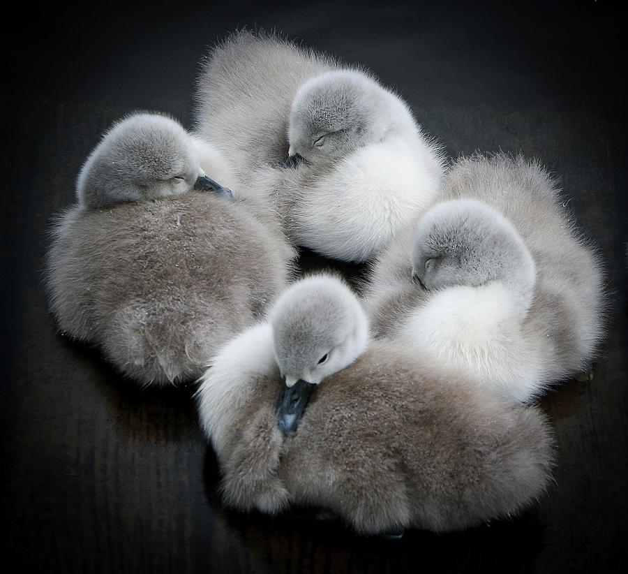 Horizontal Photograph - Baby Swans by Roverguybm