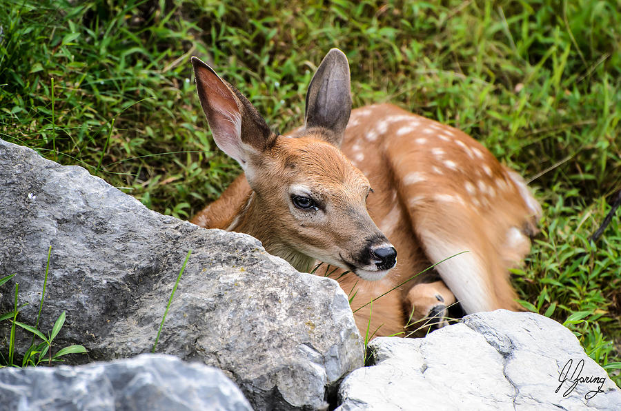 Baby Whitetail Deer Fawn Watching From Behind Boulder