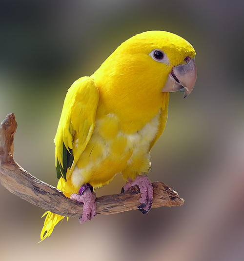 Baby Yellow Conure Photograph by Chuck Cannova