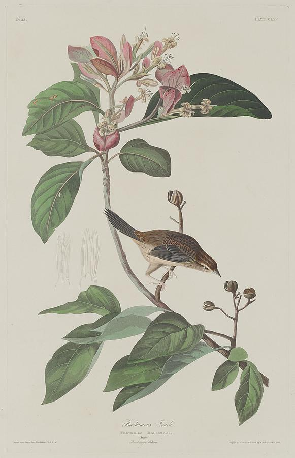 Audubon Drawing - Bachmans Finch by Dreyer Wildlife Print Collections