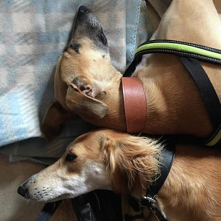 Lurcher Photograph - Back 2 Back - Ava And Finly Relaxing At by John Edwards