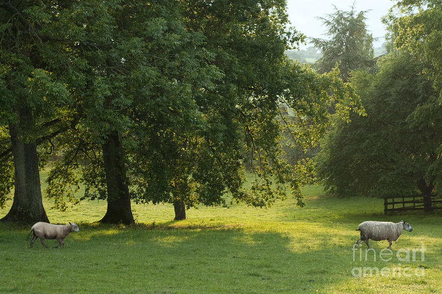 Sheep Photograph - Back From The Meadow by Angel  Tarantella